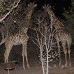 Radreisen: Giraffen in Namibia